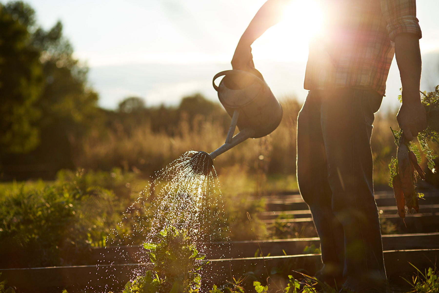 Close-up of man watering garden at sunset